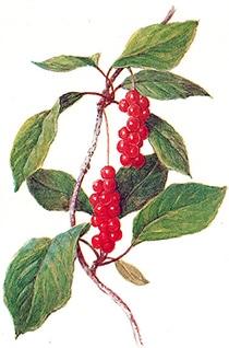 лимонник китайский (Schizandra chinensis), фото, фотография с http://medicalplant.ru/