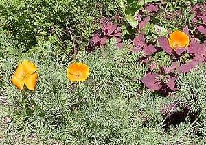 эшшольция, калифорнийский мак (Eschscholzia californica), фото, фотография