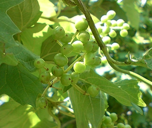 виноград амурский (Vitis amurensis), фото, фотография www.zooclub.ru