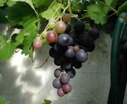 виноград лесной (Vitis sylvestris), фото, фотография с ru.wikipedia.org