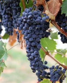 виноград Лабруска (Vitis labrusca), фото, фотография с mybluetooth.blogspot.com