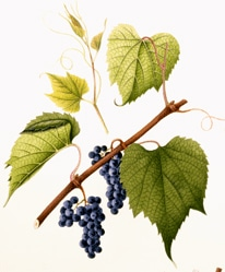 виноград лисий (Vitis vulpina), фото, фотография с www.nal.usda.gov