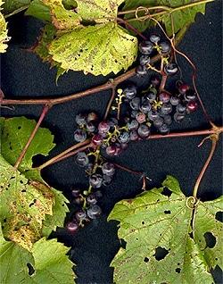 виноград прибрежный (Vitis riparia), фото, фотография с www.lesinsectesduquebec.com