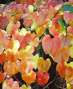 виноград Куанье, виноград японский (Vitis coignetiae), фото, фотография с www.provarplants.co.uk