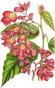 бегония сизолистная (Begonia glaucophylla, Begonia radicans), фото, фотография с http://www.begonias.org/
