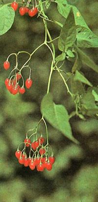 паслен сладко-горький (Solarium dulcamara), фото, фотография