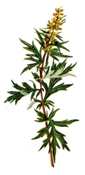 Полынь обыкновенная чернобыльник artemisia vulgaris полынь  Полынь обыкновенная или чернобыльник artemisia vulgaris