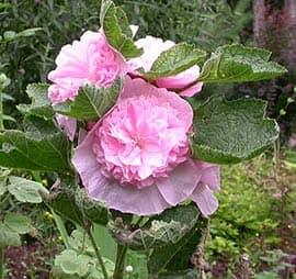 мальва розовая, фото, фотография