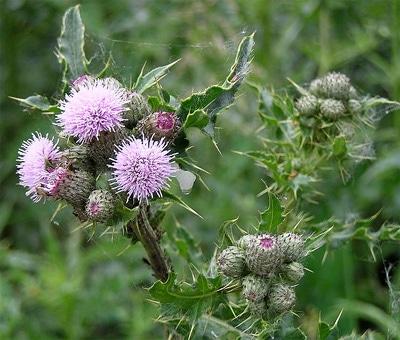 Бодяк полевой, осот полевой (Cirsium arvense), фото фотография