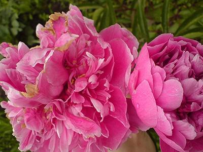 Розовые пионы, Выбираем леску для садового триммера, фото фотография