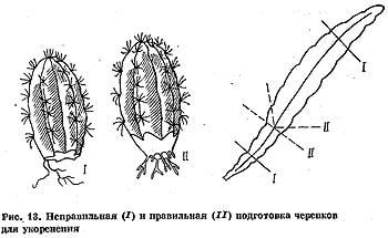 Рис 13. Правильная (I) и неправильная (II) подготовка черенков кактусов для укоренения