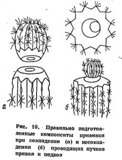 Рис 10. Правильно подготовленные компоненты прививки кактуса при совпадении (а) и несовпадении (б) проводящих пучков привоя и подвоя