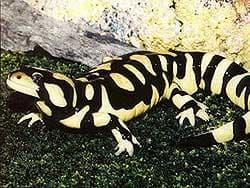 тигровая амбистома (Ambystoma tigrinum), фото, фотография, фотка