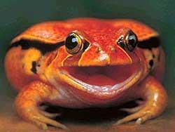 лягушка-помидор (Dyscophus guineti), фото, фотография, фотка