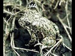 серая жаба (Bufo viridis), фото, фотография, фотка