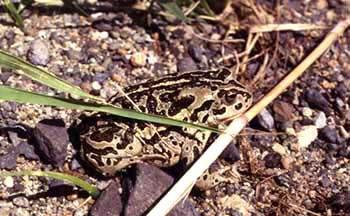 монгольская жаба (Bufo raddei), фотография, фото, фотка