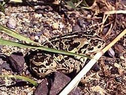 монгольская жаба (Bufo raddei), фото, фотография, фотка