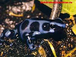 древолаз красящий (Dendrobates auratus), фото, фотография, фотка