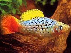 рыбка пецилия, фотография, фото, фотка