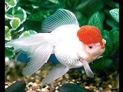золотая рыбка оранда, фотография, фото, фотка