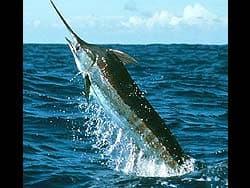 рыба-единорог фотография, фото, фотка
