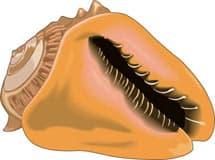 раковина, моллюск, клипарт