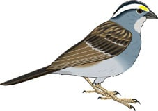 воробей, клипарт: zooclub.ru/fotogal/clip/birds/index28.shtml