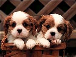 щенки, обои для рабочего стола, рабочий стол