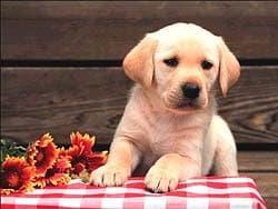 щенок лабрадора ретривера, обои для рабочего стола, рабочий стол