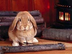 кролик, обои для рабочего стола, рабочий стол