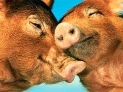 целующиеся свиньи, обои для рабочего стола, рабочий стол