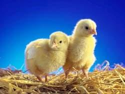 цыплята, обои для рабочего стола, рабочий стол