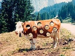 корова в дырках, обои для рабочего стола, рабочий стол