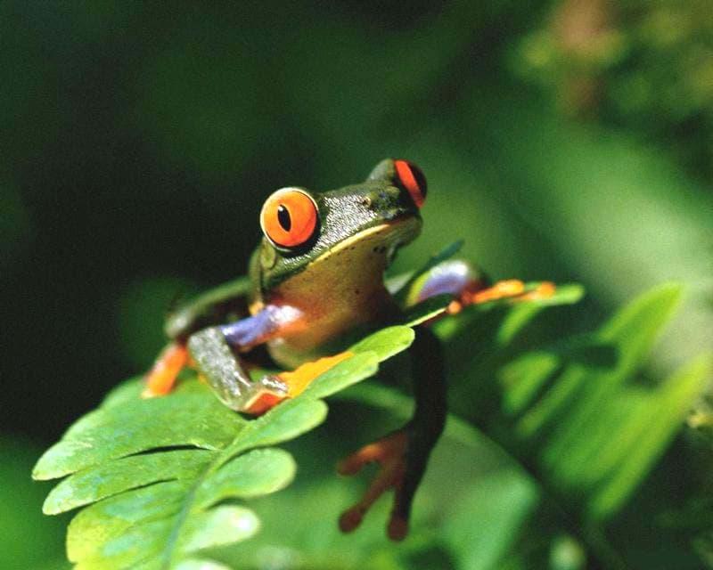 Звук квакающих лягушек скачать