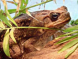 жаба ага