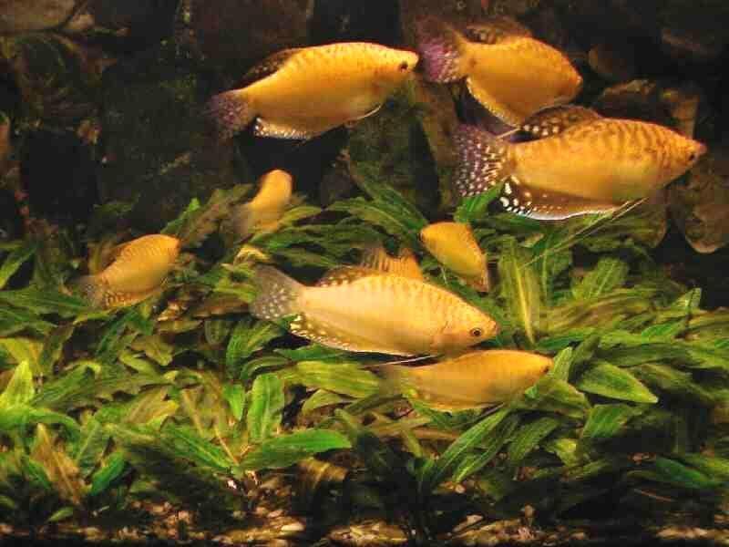Гурами медовый (Trichogaster chuna), фото аквариумные рыбки фотография картинка