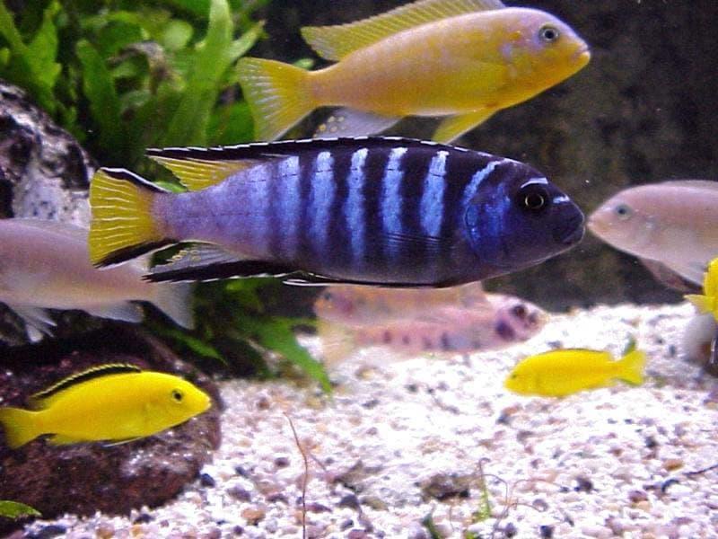 Распространение.  Цихловые или цихлиды (лат.  Cichlidae) - семейство рыб из.