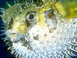 рыба-еж