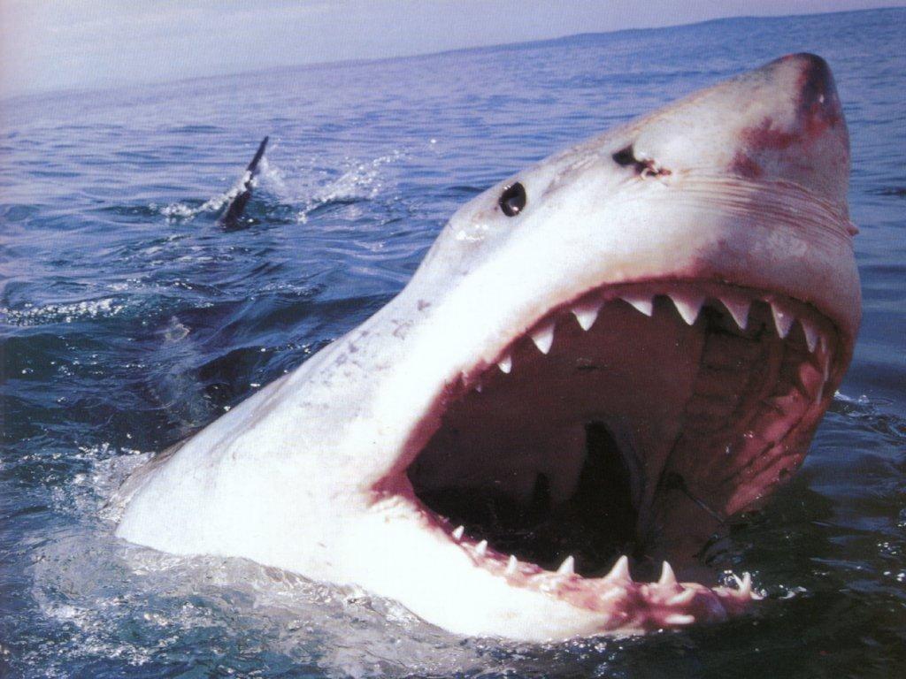 Большая белая акула (Carcharodon carcharias), фото рыбы фотография