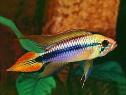 пресноводная рыбка