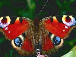 бабочка павлиноглазка, фотообои