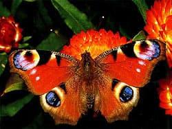 павлиноглазка бабочка, фото
