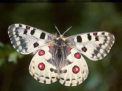 бабочка аполлон, фото