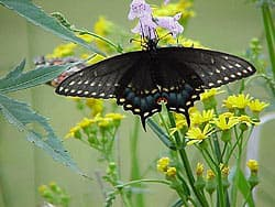 бабочка махаон парусник, фотообои