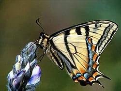 бабочка парусник, фотообои