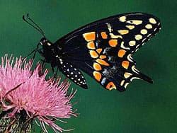 бабочка парусник, фото