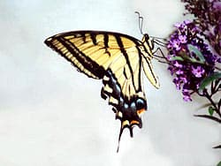 бабочка махаон, фото