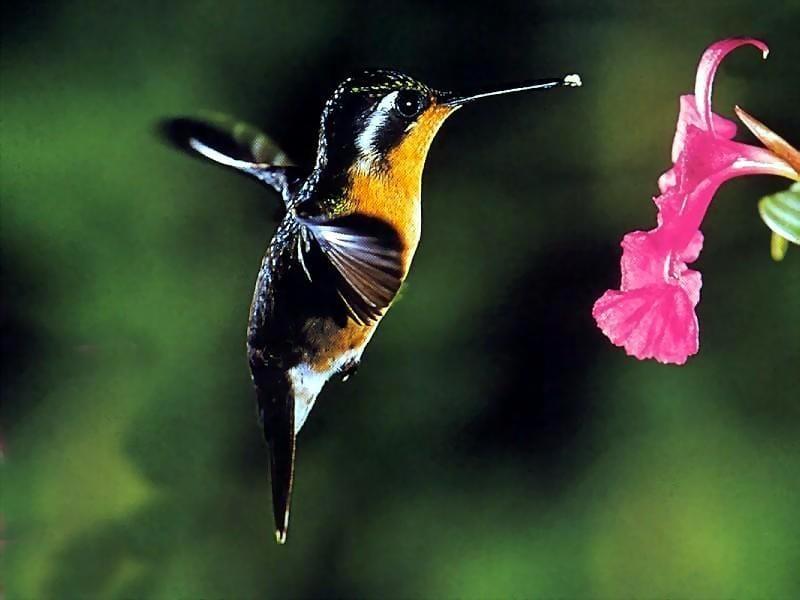Колибри фотообои фото обои