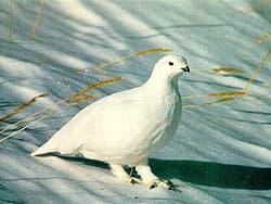 снежная куропатка