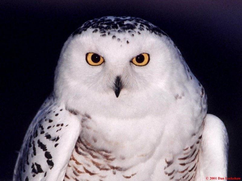 Полярная сова (колония) - Википедия.